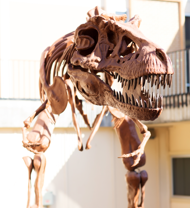 Photo of a dinosaur skeleton with head leaning forward